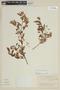 Myrcianthes cisplatensis image
