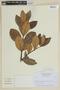 Myrcianthes rhopaloides (Kunth) McVaugh, ECUADOR, F