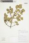 Myrcianthes rhopaloides (Kunth) McVaugh, BOLIVIA, F