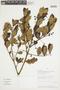 Myrcianthes rhopaloides (Kunth) McVaugh, PERU, F