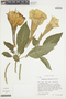 Brugmansia versicolor image
