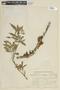 Myrrhinium atropurpureum var. octandrum image