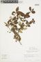 Ugni molinae image