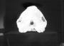 Beaked Whale skull