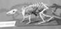 Rabbit Long-nosed Bandicoot