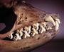 Crabeater seal skull