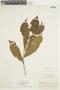 Brunfelsia grandiflora image