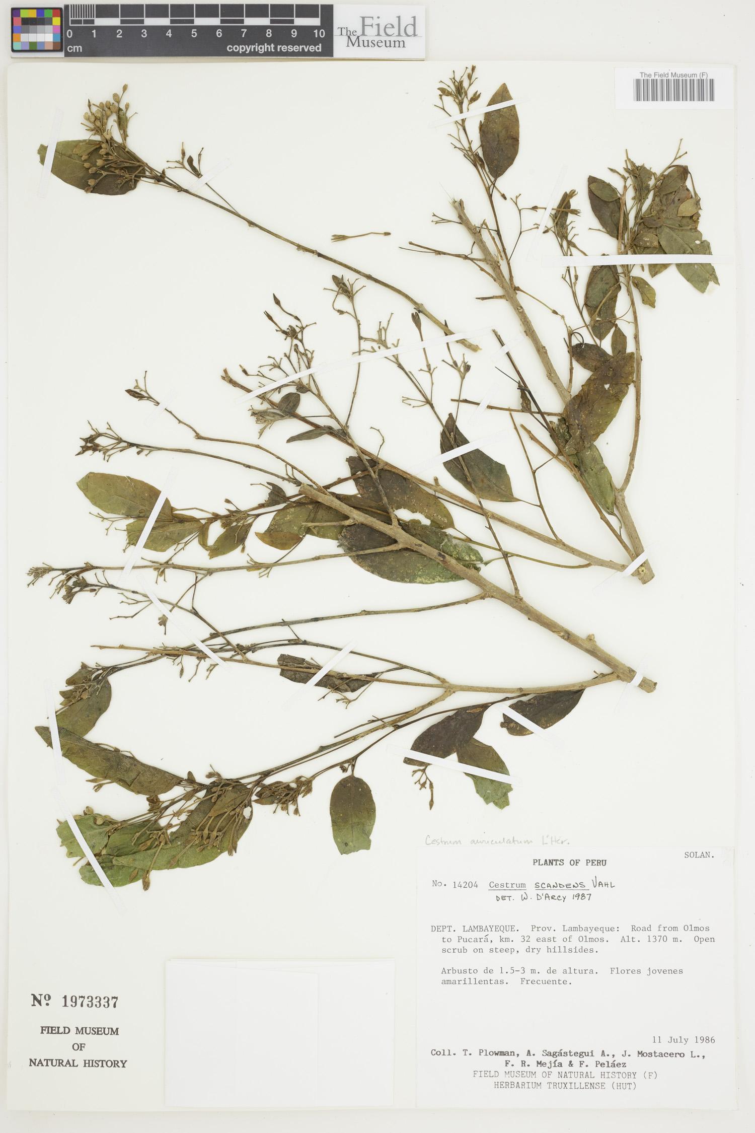 Cestrum auriculatum image