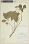 Capsicum hookerianum image