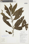Cestrum microcalyx Francey, COLOMBIA, F