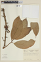 Syzygium malaccense (L.) Merr. & L. M. Perry, COLOMBIA, F