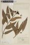 Syzygium jambos image