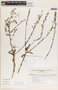 Leptoglossis Benth., PERU, F