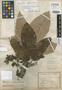 Pourouma bicolor subsp. scobina image