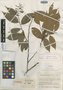 Licania calvescens Cuatrec., COLOMBIA, J. Cuatrecasas 15835, Holotype, F