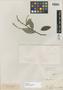 Licania coriacea Benth., BRITISH GUIANA [Guyana], R. H. Schomburgk 50, Isotype, F