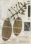 Licania durifolia image