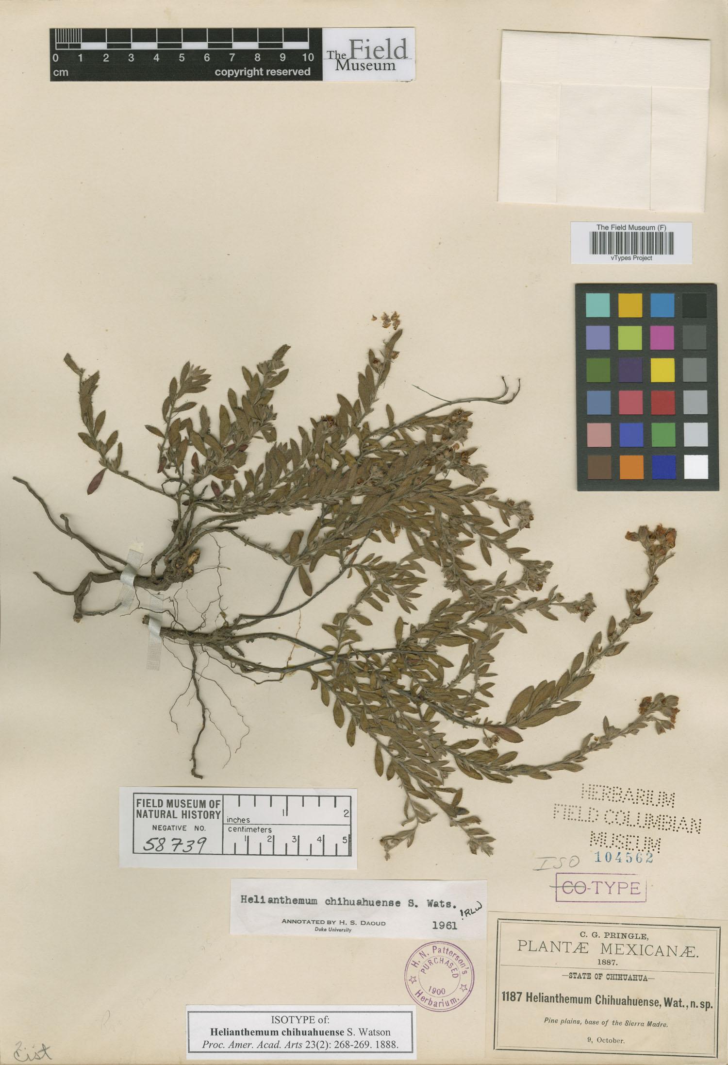 Helianthemum chihuahuense image