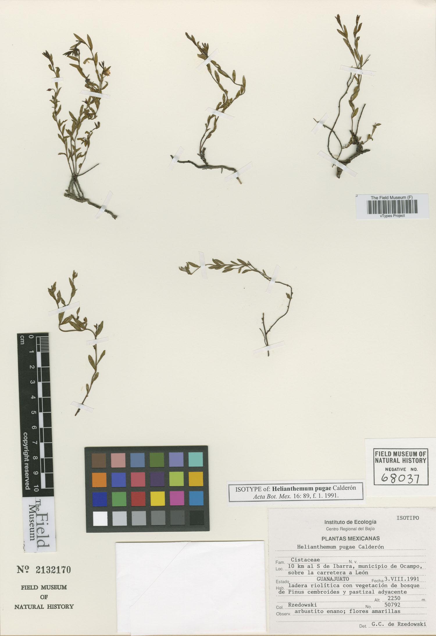 Crocanthemum pugae image