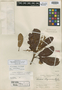 Clethra obliquinervia Standl., MEXICO, E. Matuda 1894, Holotype, F