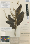 Clethra broadwayana Briq., Trinidad and Tobago, W. E. Broadway 2594, Isotype, F