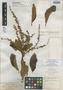 Clethra broadwayana Briq., Trinidad and Tobago, W. E. Broadway 2594, Isolectotype, F