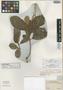 Clethra brasiliensis var. venosa Meisn., BRAZIL, F. Sellow, Isotype, F