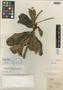 Clethra guianensis Klotzsch ex Meisn., BRITISH GUIANA [Guyana], Schomburgk 630, Isotype, F