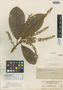 Clethra smithii Briq., COLOMBIA, Herb. H. Smith 2422, Isotype, F