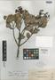 Calophyllum pulgarense Elmer, PHILIPPINES, A. D. E. Elmer 13217, Isotype, F