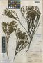 Hypericum arbuscula image
