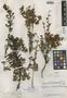 Hypericum calcicola image