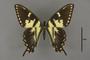 95493 Papilio turnus T d IN