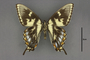 95493 Papilio turnus T v IN