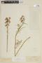 Schizanthus hookeri image