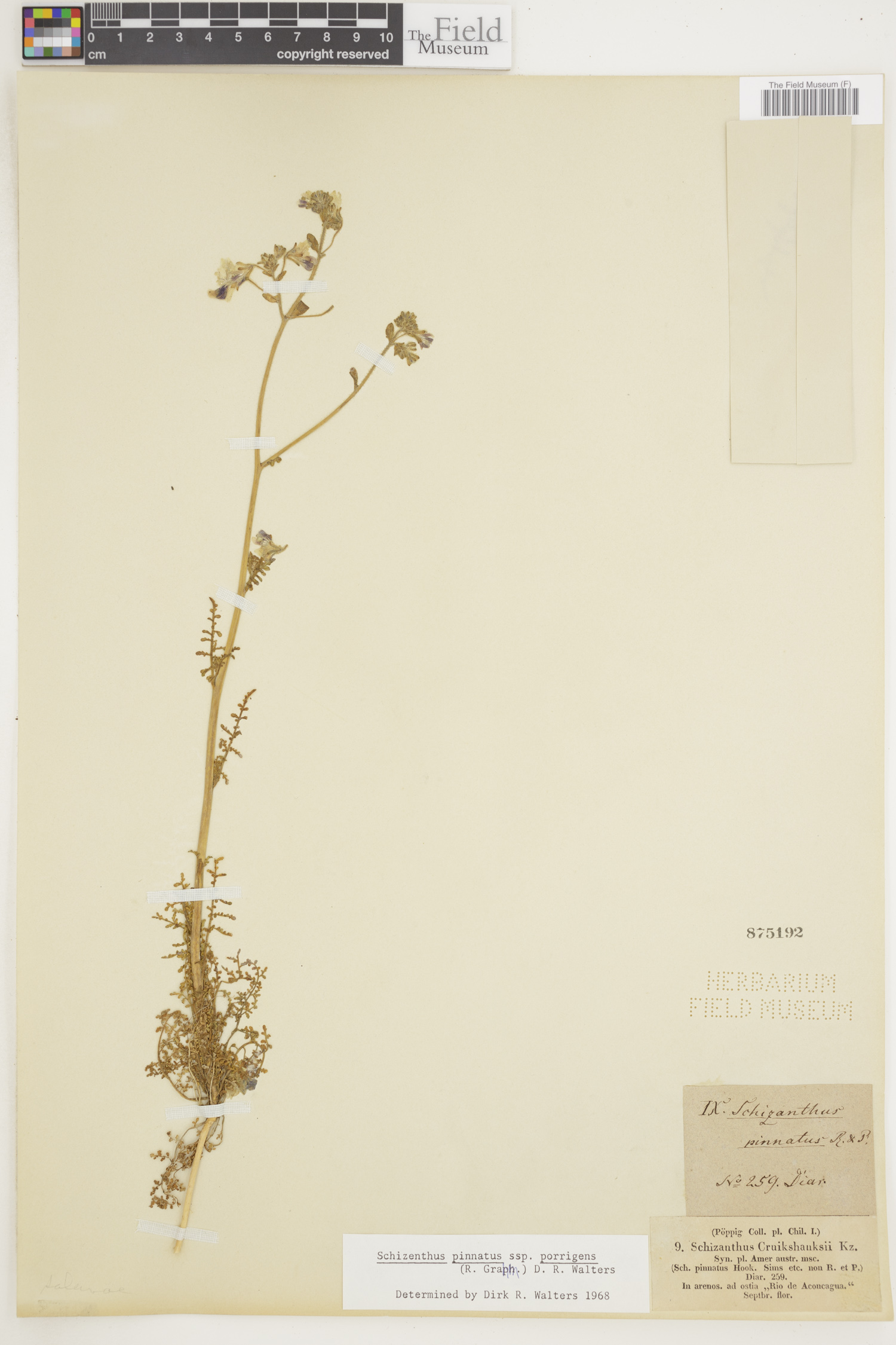 Schizanthus image