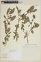 Physalis angulata L., BRAZIL, F