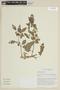 Physalis angulata L., BOLIVIA, F