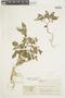 Physalis angulata L., COLOMBIA, F