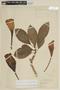 Solandra grandiflora image