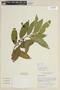Solanum aligerum Schltdl., BOLIVIA, F
