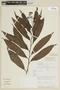 Solanum aligerum Schltdl., PERU, F