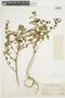 Solanum arequipense image