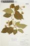 Solanum asperolanatum image