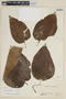 Solanum betaceum image