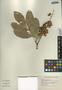 Pilocarpus racemosus Vahl, El Salvador, S. Martinez s.n., F