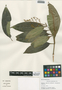 Miconia prasina (Sw.) DC., Belize, M. A. Vincent 6007, F