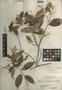 Licania hypoleuca Benth., Belize, P. H. Gentle 1249, F