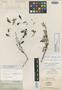 Columellia sericea Kunth, ECUADOR, F. W. H. A. von Humboldt 3204, Isotype, F
