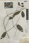 Combretum elmeri var. glabrescens Merr., Indonesia, A. D. E. Elmer 21561, Isotype, F